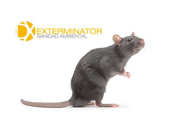 Desratización en Las Rozas | Desinfecciones Exterminator