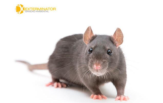 Desratización en Getafe | Desinfecciones Exterminator