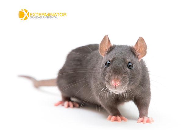 Desratización en Leganés | Desinfecciones Exterminator
